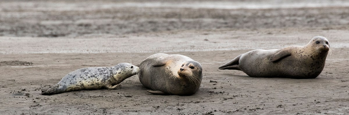 Two adult harbor seals and a pup on a beach