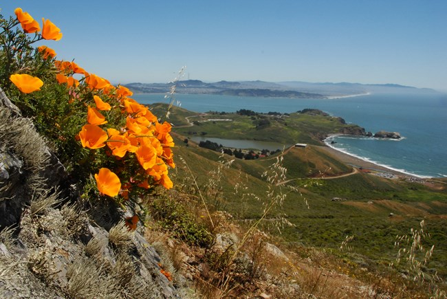 Poppies in bloom with a beach in the background