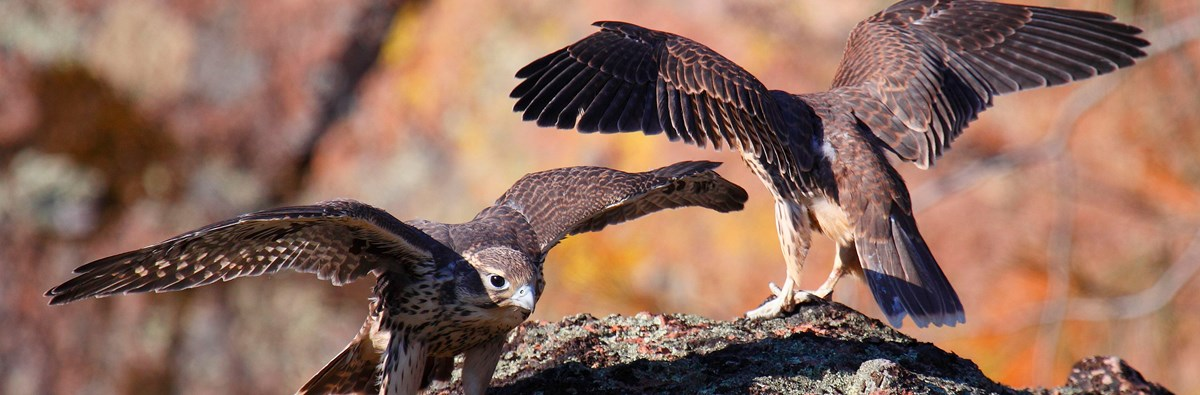 Two juvenile prairie falcon fledglings on a rock with their wings spread