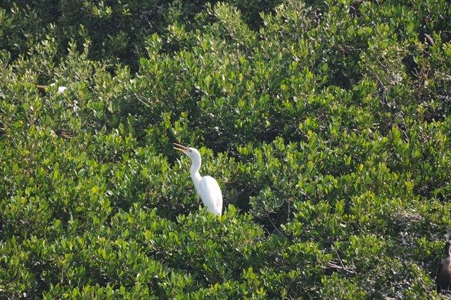 A Great White Heron is perched on top of mangrove trees.