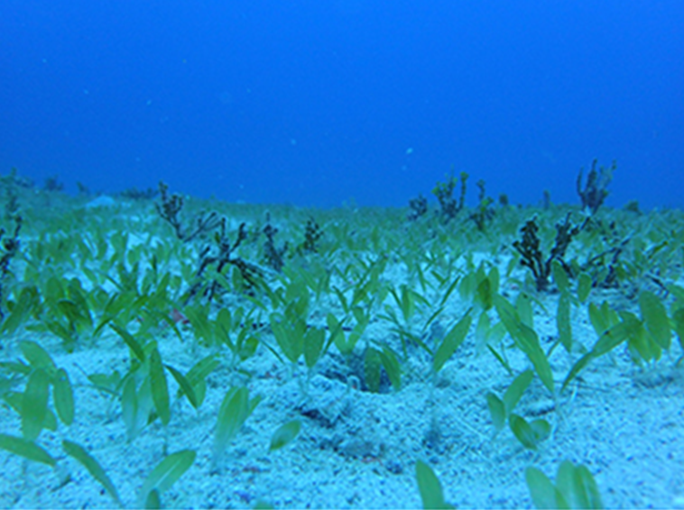 Seagrass growing on canyon floor