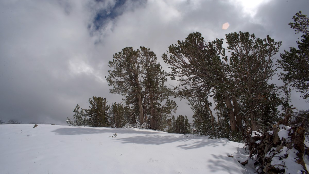 Whitebark pine trees on a snowy ridge in Yosemite National Park. Photo: copyright Michael Durham