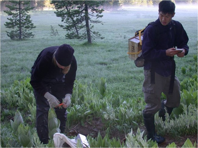 Two field biologists check mammal live traps on a survey route.