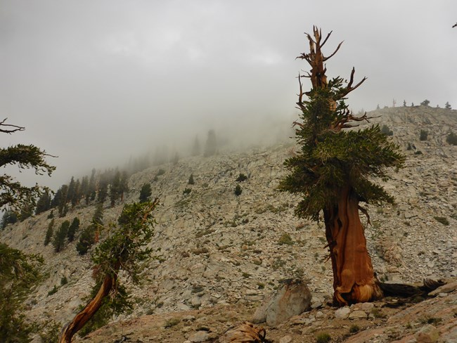 Foxtail pine in the fog, on a rocky, steep slope in Sequoia National Park.
