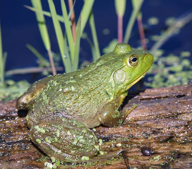 Large bullfrog on a log