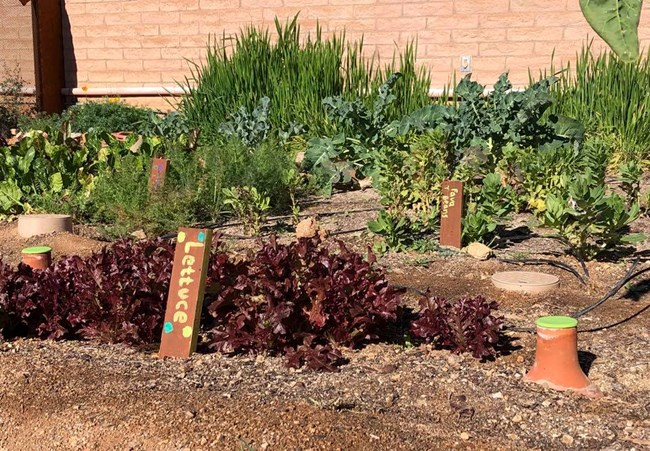 Flourishing garden of lettuce and other vegetables, with clay pots in the soil