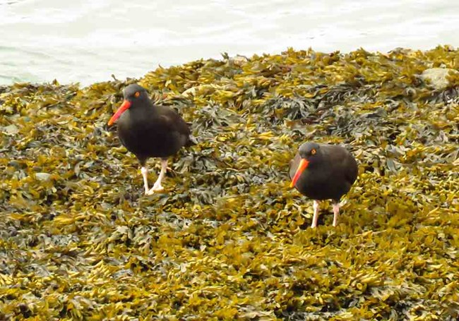 Two Black Oystercatchers on a kelp bed at low tide.