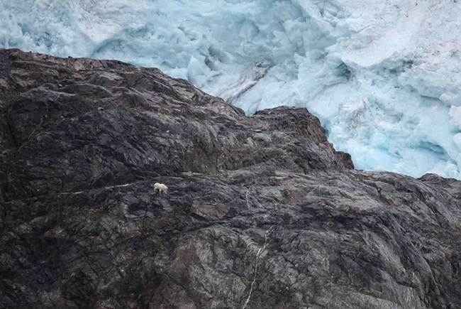 A mountain goat traverses a rocky cliff along a glacier edge.