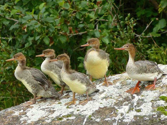 A family of red-breasted mergansers.