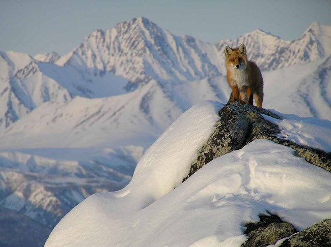 A red fox on a mountain peak in Lake Clark.