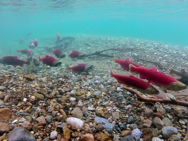 Spawning sockeye salmon in Tazimina Lake.