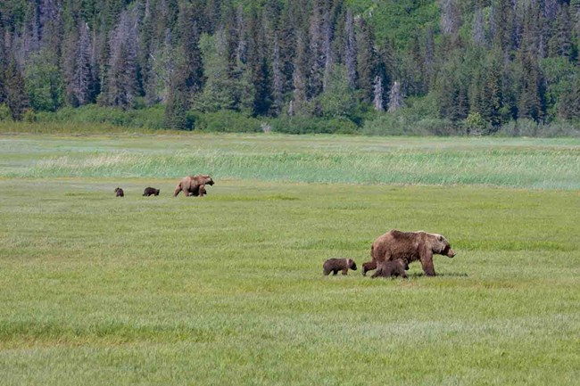 Sows and their cubs in the salt marsh in Lake Clark.