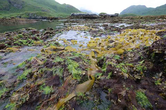 At low tide, previously submerged kelp beds are out of the water.