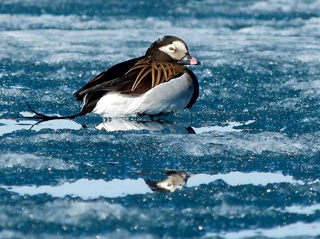 A long tailed duck floats in the icy waters off Lake Clark National Park and Preserve.
