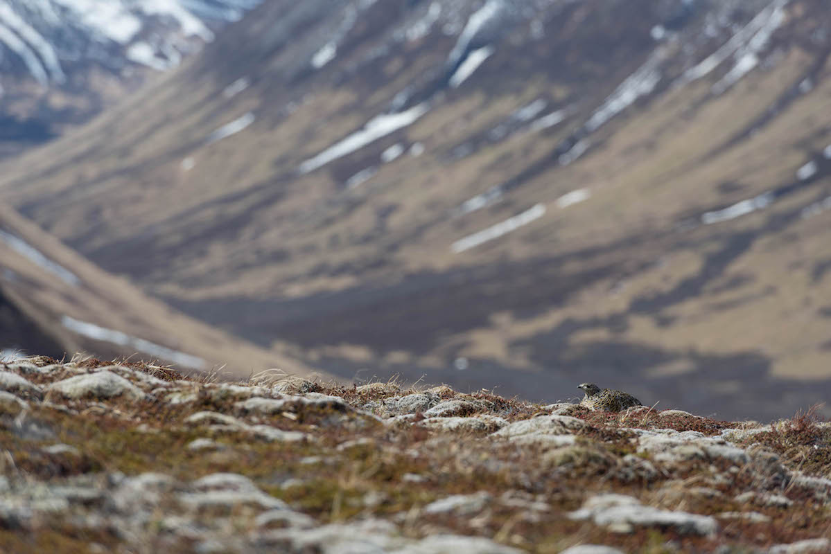 A willow ptarmigan sits on the bumpy tundra floor