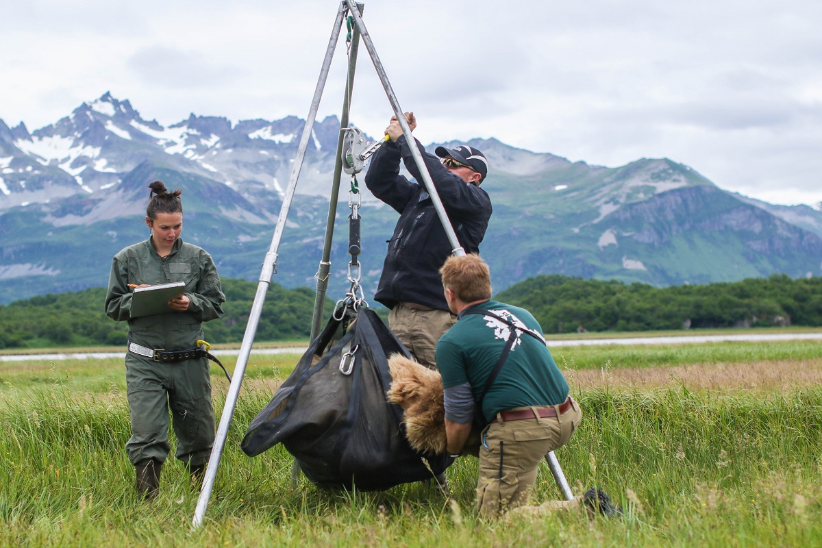 Three researchers weigh a bear with mountains in the background.