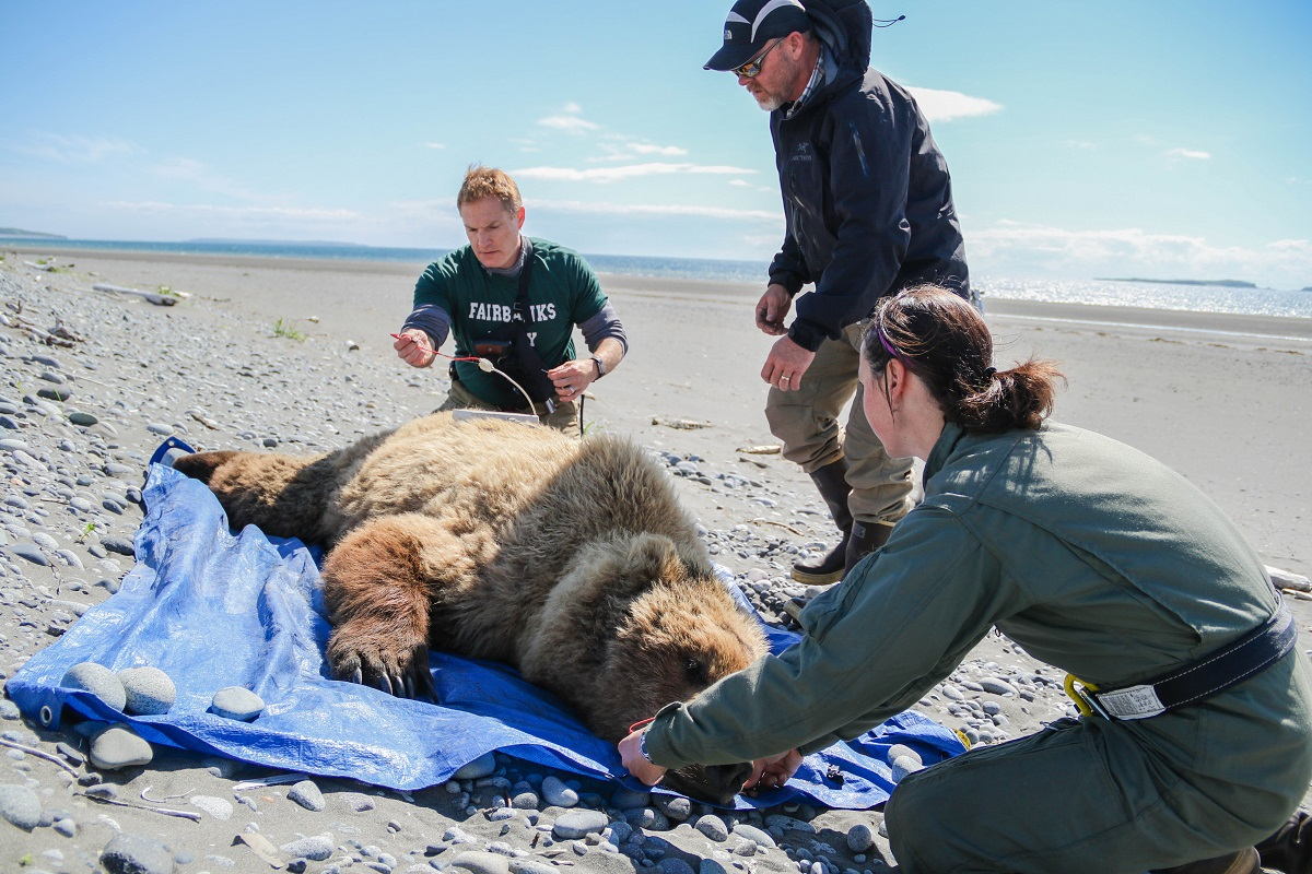 Three researchers use equipment to measure a bear's body fat percentage, with a beach in the background.