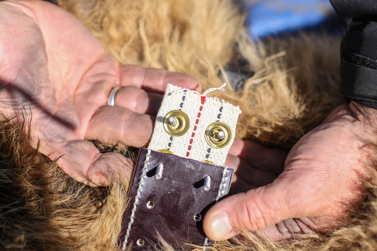 A researcher holds the collar of a bear, showing a canvas spacer.