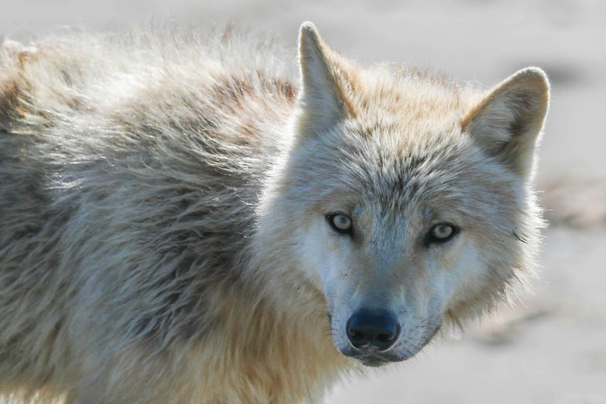 A close-up of a wolf's face.