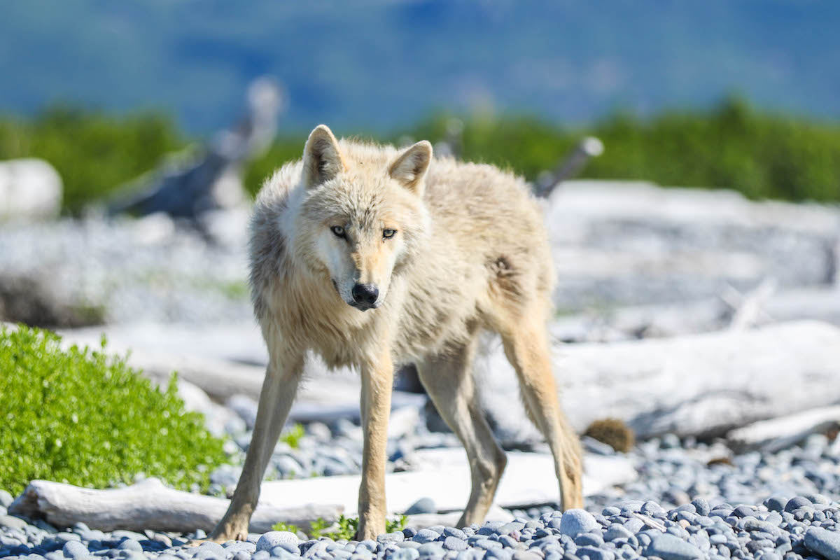 A gray wolf stands on a rocky beach.