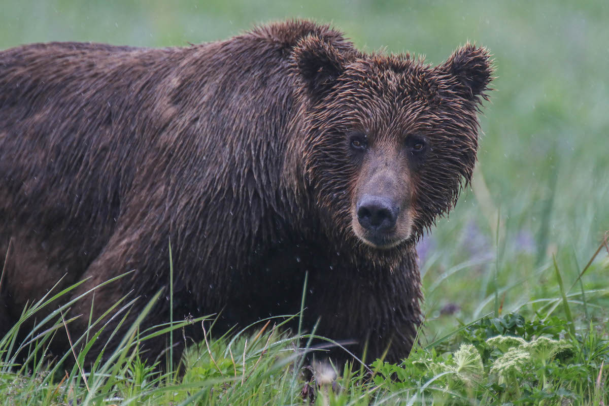 A bear glances over from a grassy meadow