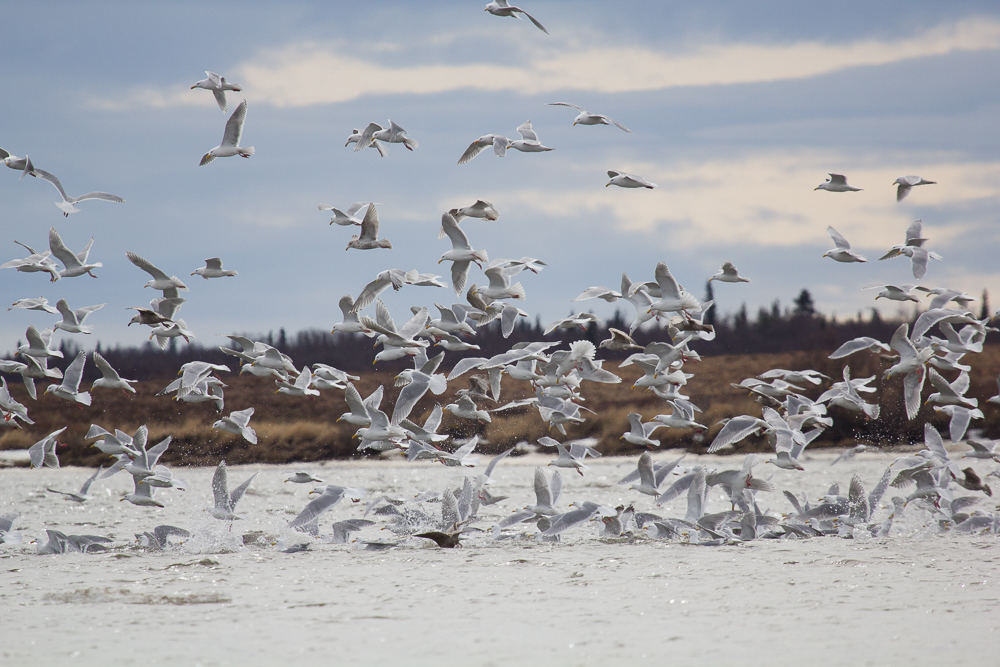hundreds of gulls hover above the water, some diving in