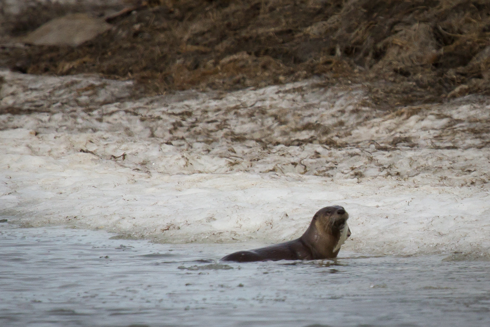 A river otter looks over its shoulder at us while eating a small fish