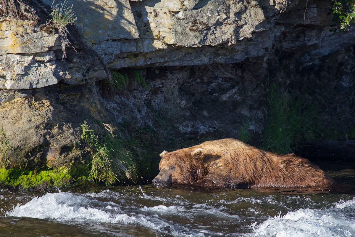 A bear sleeps in shallow water