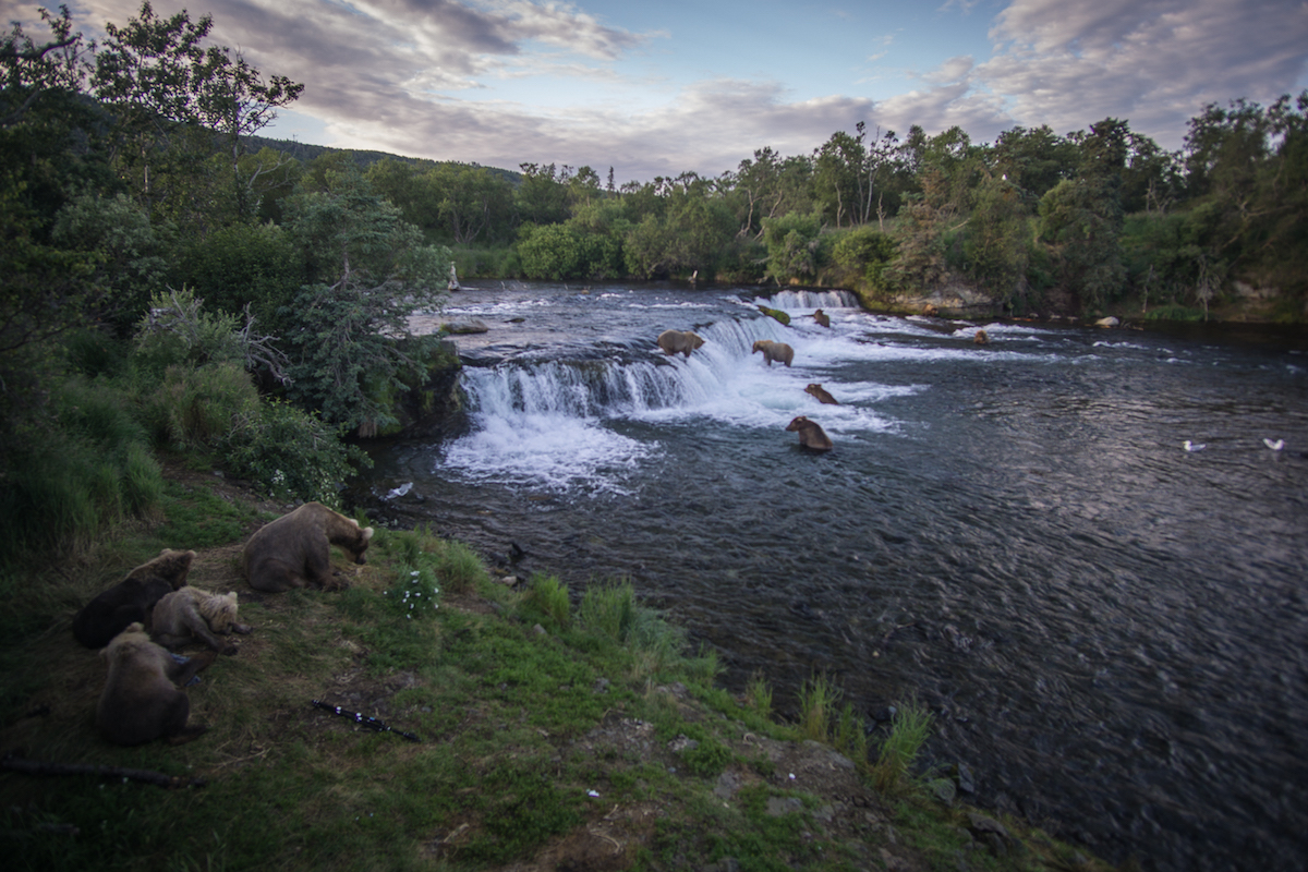 Many bears fish below a waterfall in evening light.