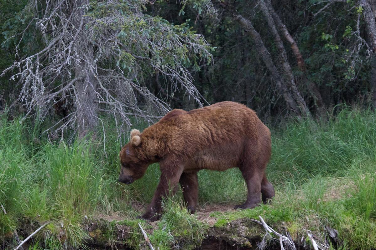 Ginger bear plow