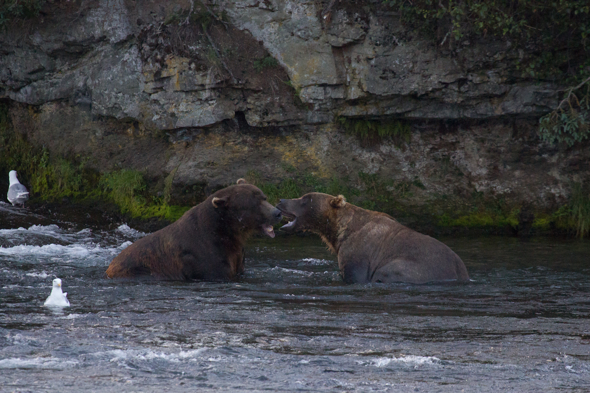 Two bears play fight in a river