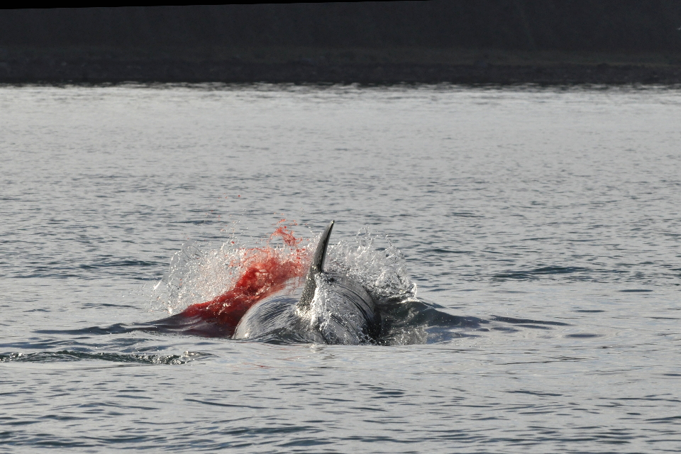 blood at killer whale kill