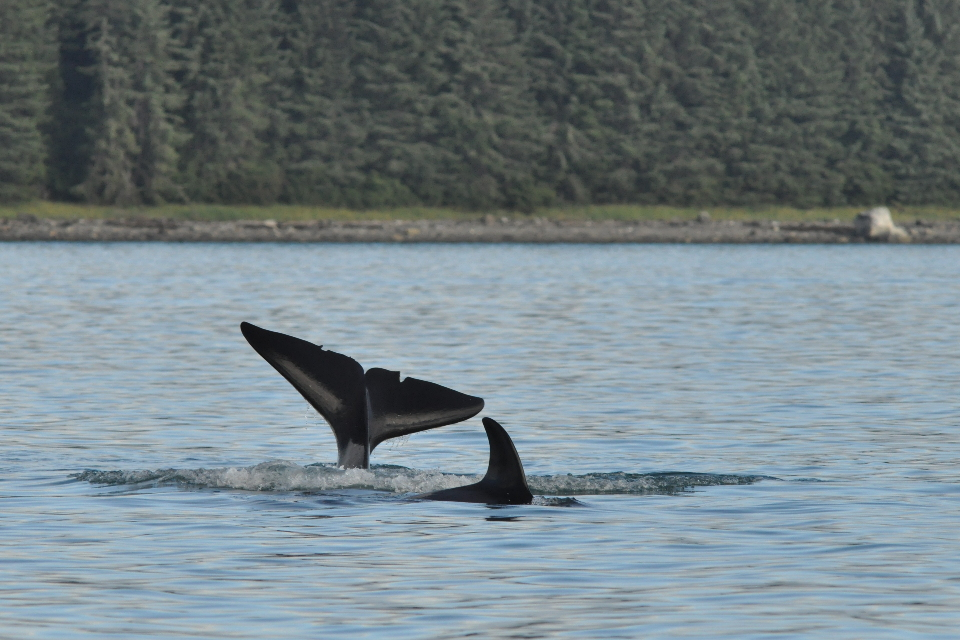 killer whales tail and dorsal