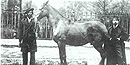 A picture of Old Bob, a horse owned by President Lincoln