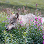 A wolf in a patch of fireweed