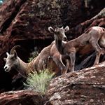 A mother and young bighorn sheep scamper along a cliff face