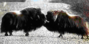 Two male musk oxen budding heads in the middle of the Kougarok Road in Nome, Alaska.