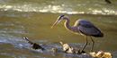 Great Blue Heron hunting for food - Photo by Tom Wilson