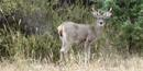 Coues buck