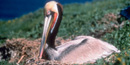 Brown pelican on nest