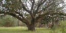 Live Oak at Charles Pinckney NHS