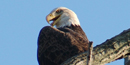 Photo of Bald Eagle taken in Cuyahoga Valley National Park where an eagle pair built their first nest in 2006. Photo by Martin Trimmer.