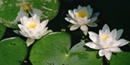 Water lilies in beaver marsh area of Cuyahoga Valley National Park. Photo by NPS volunteer John Catalano.