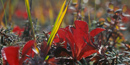 Image of Autumn Bearberry