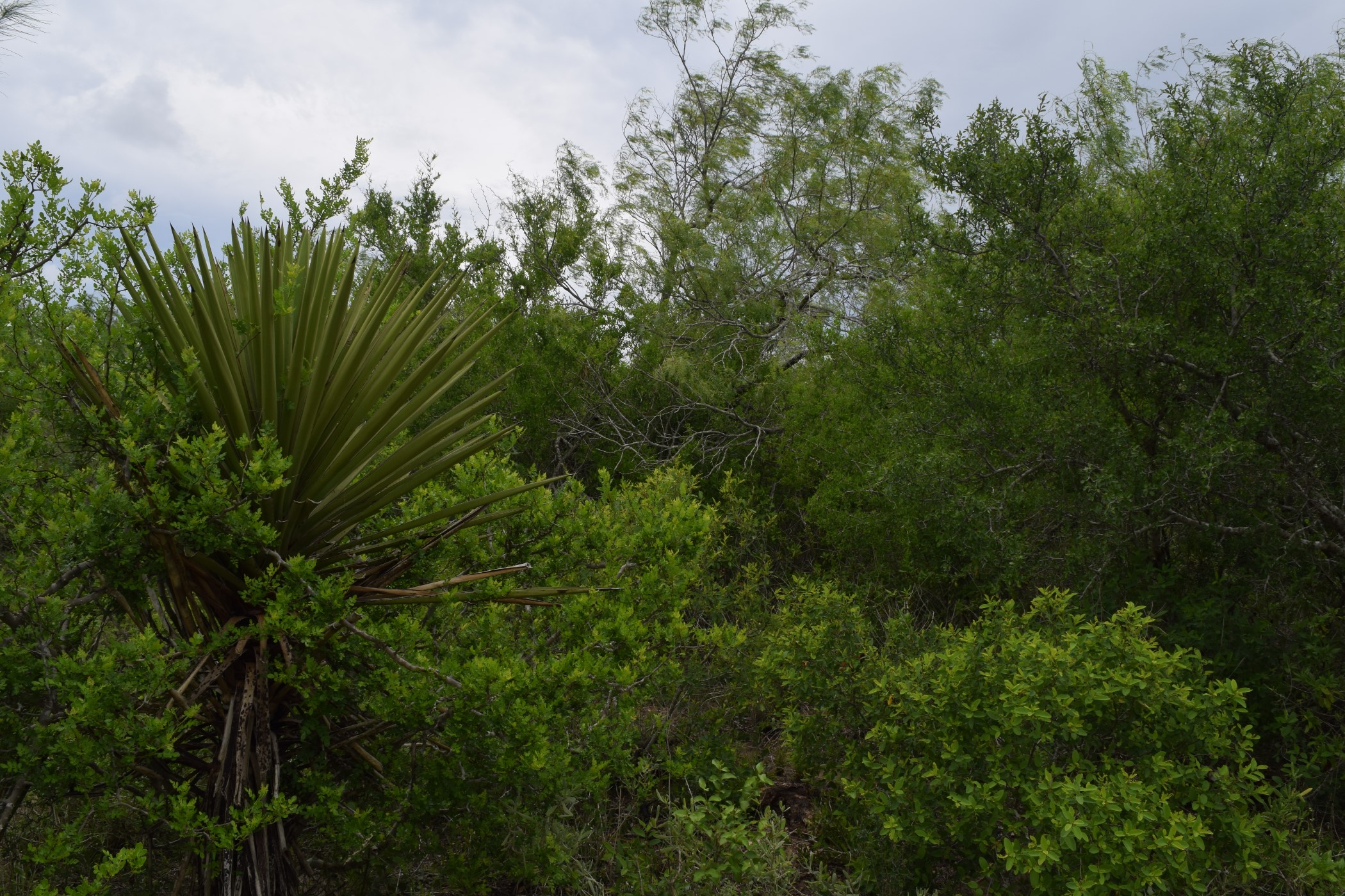 Dense, thorny plants found in chaparral ecosystem