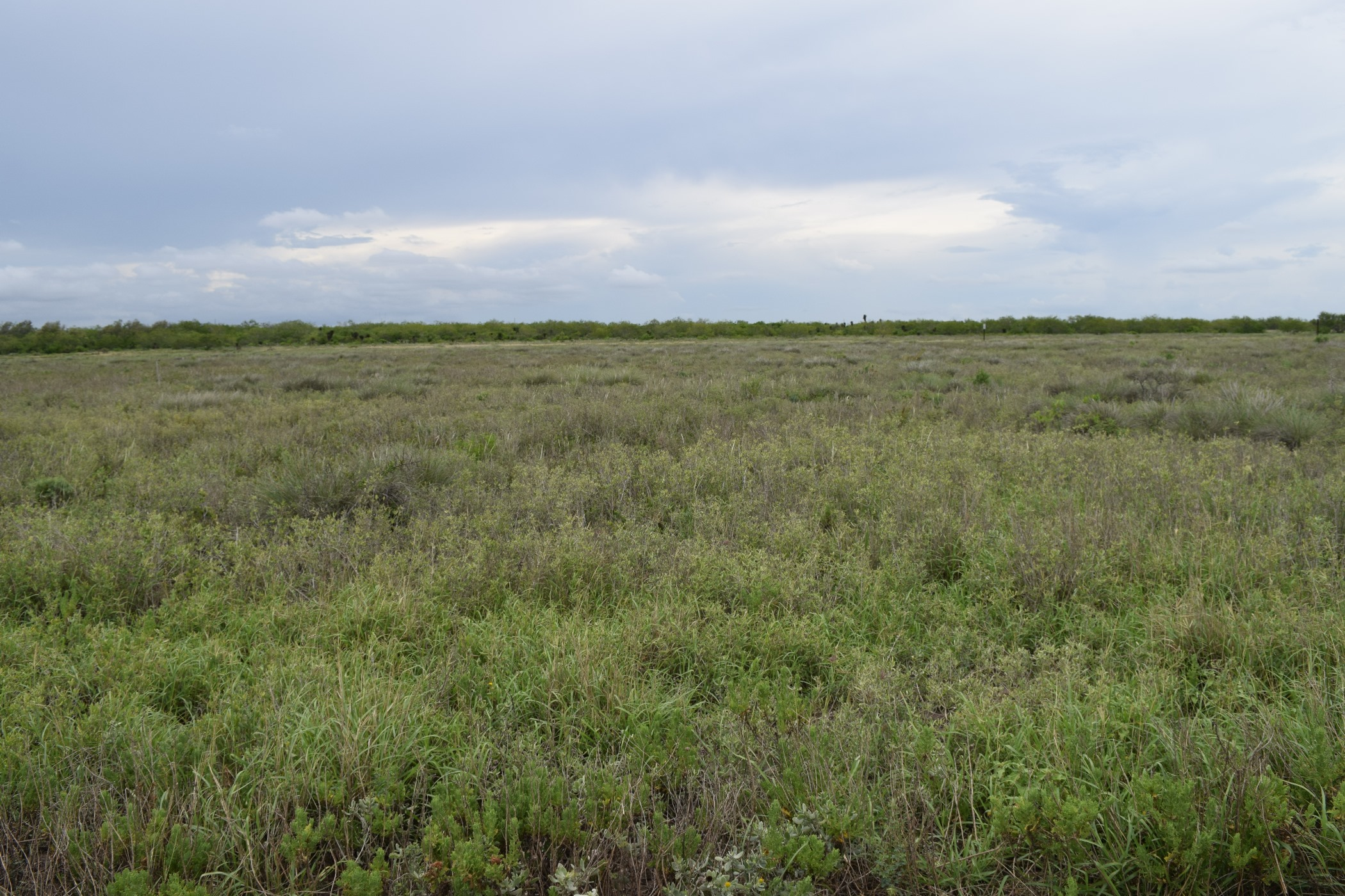Low laying grasses found in coastal prairie ecosystem