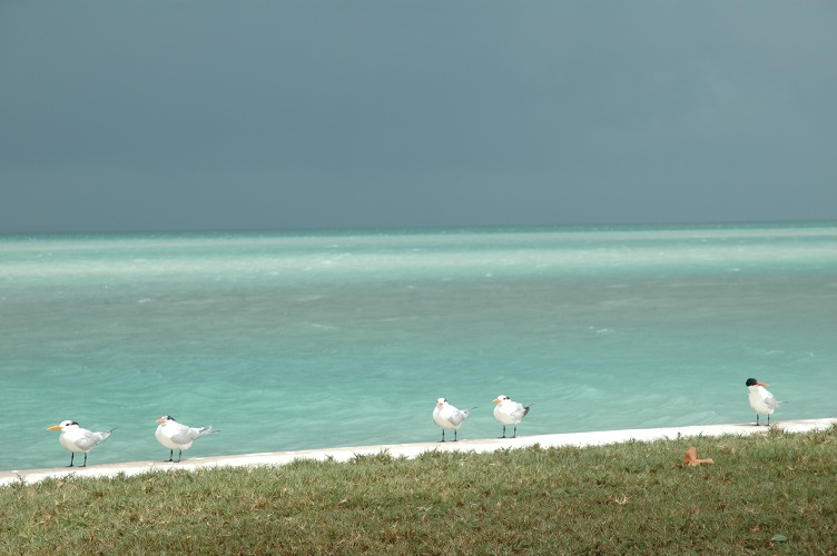 Terns and gulls at Boca Chita