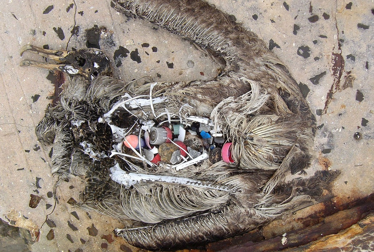 A dead bird's stomach is filled with plastic garbage