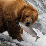 bear catching a salmon on Brooks Falls