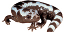 Marbled salamanders are one of 30 salamander species native to the park.